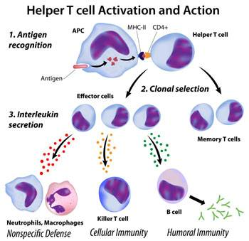 T cell activation. Fucoidan