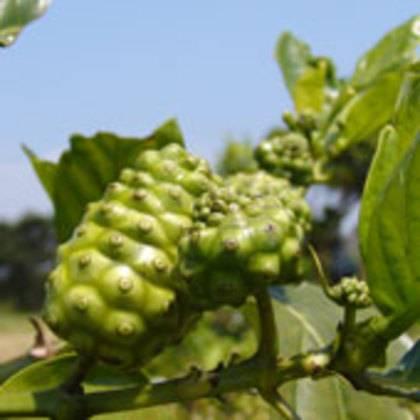 Сила Нони (Morinda Citrifolia) Окинава_0