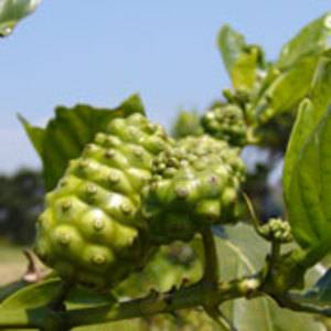 Okinawa Noni (Morinda Citrifolia) Power